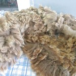 An alpaca fleece before we washed it.